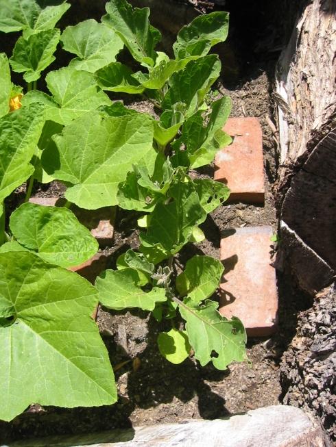 eggplantmay